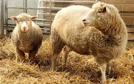 Dolly (right) the first cloned sheep stands in her pen at Edinburgh's Institute with Polly another cloned sheep photo Reuters
