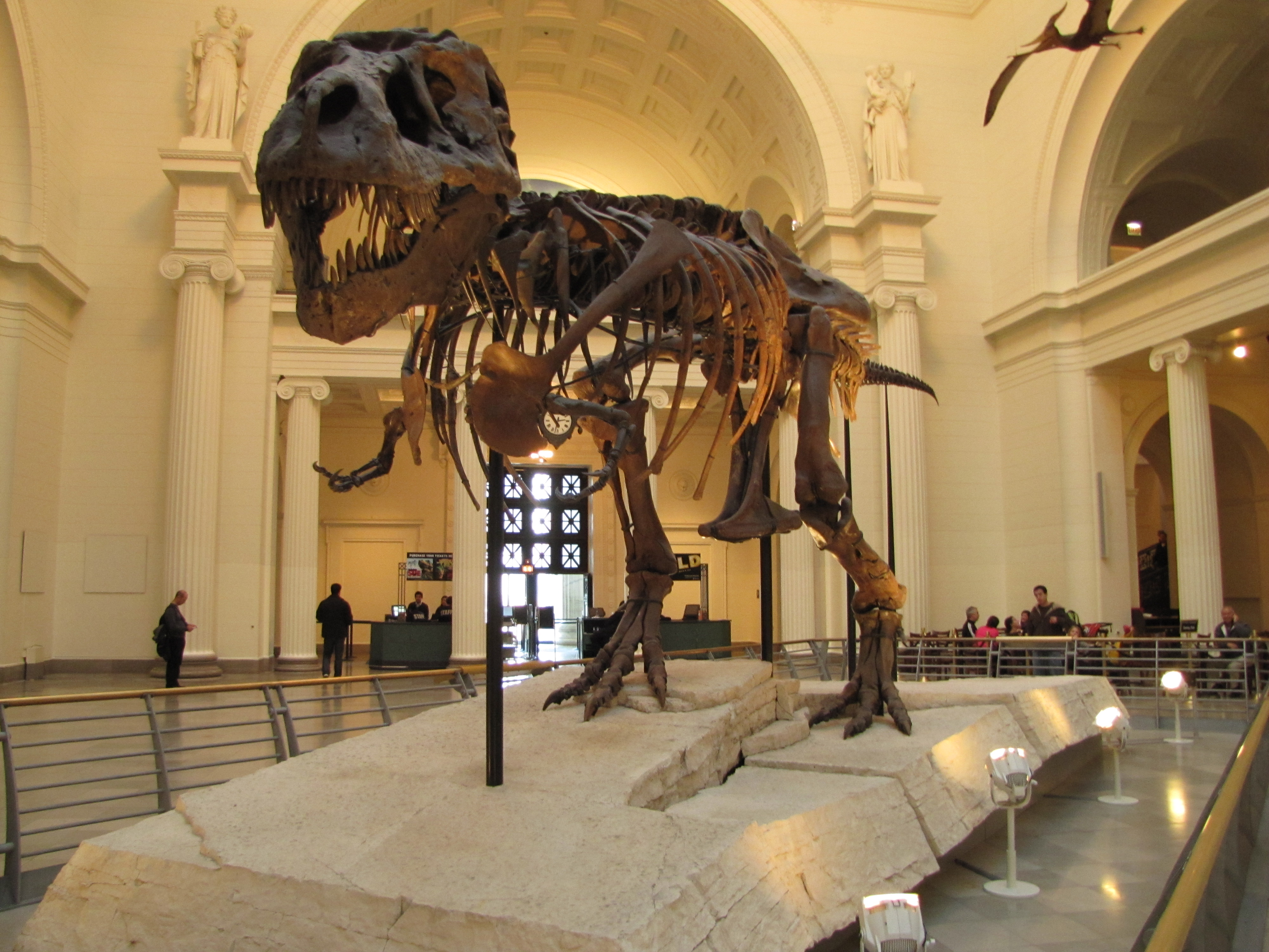 a history of the tyrannosaurus rex fossil named sue Although we now know the tyrannosaurus rex wasn't top 10 fascinating facts about t rex amongst the most impressive is a t rex called sue, named after the.