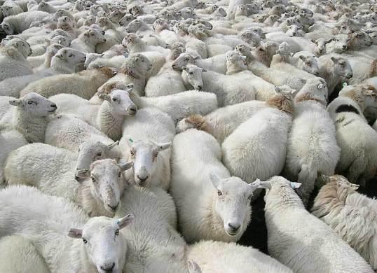 sheep_clones