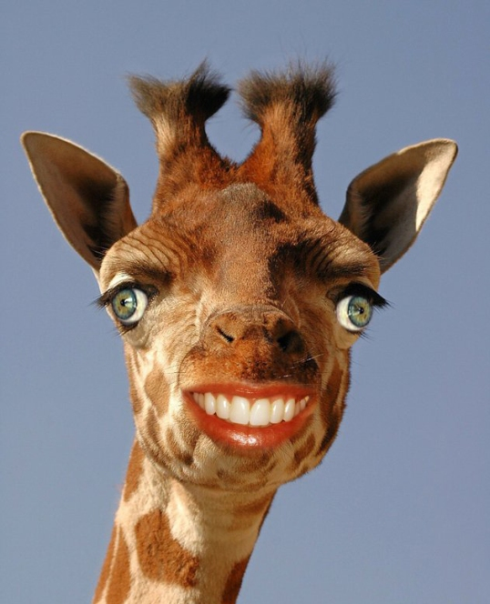 funny photoshop grinning giraffe human man animal hybrid